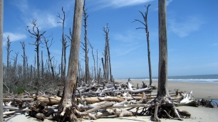 Shifting shorelines on barrier islands (Paramore Island, Eastern Shore of Virginia) leave behind ghost forests