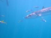 Barracuda (Sphyraena barracuda) on the Great Barrier Reef