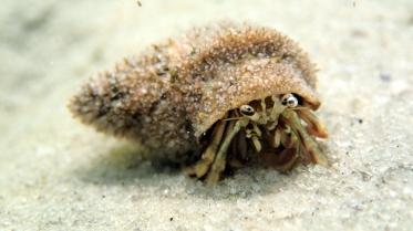Hermit crab at Goodwin Island, York River Estuary, VA